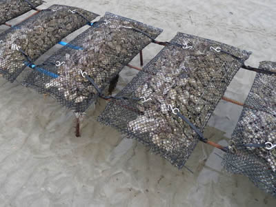 A row of oyster mesh bag on the metal shelves with several oyster in the bags