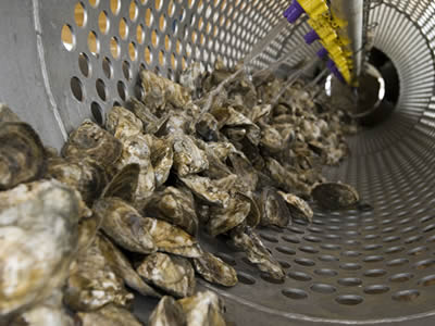 In the tumbler, water is washing the oysters.